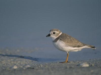 Piping Plover, a Threatened Species, Charadrius Melodus, . Usa., Charadrius Melodus by John & Barbara Gerlach