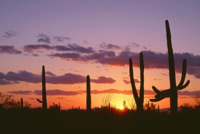 Arizona, Saguaro National Park, Saguaro Cacti are Silhouetted at Sunset in the Tucson Mountains by John Barger