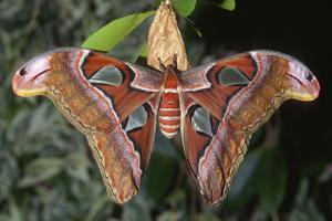 Atlas Moth, Native to Southeast Asia by John Barger