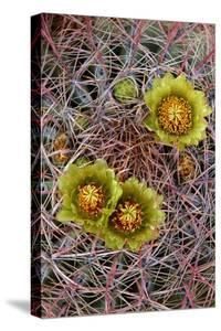 Barrel Cactus in Bloom, Anza-Borrego Desert State Park, California, Usa by John Barger