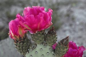 Beavertail Cactus in Bloom, Anza-Borrego Desert State Park, California, Usa by John Barger