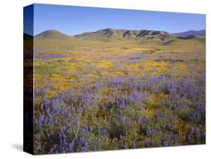 California, Douglas Lupine, California Poppy by John Barger