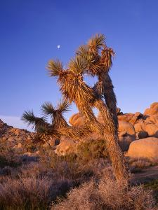 California, Joshua Tree, Moon and Monzonite Granite Boulders, Early Morning Near Jumbo Rocks by John Barger