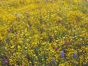 California, Lush Spring Bloom of Goldfields, Douglas Lupine by John Barger