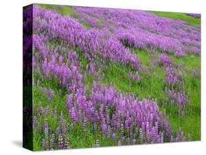 California, Meadow of Blooming Riverbank Lupine and Spring Grass in the Bald Hills by John Barger