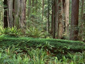 California, Prairie Creek Redwoods State Park by John Barger