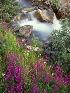 Canada, Alberta, Jasper National Park, Fireweed in Bloom Along Tangle Creek by John Barger