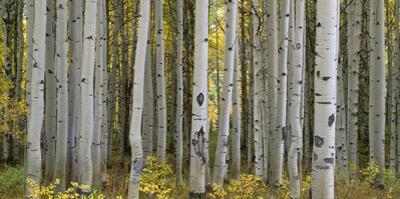Colorado, Gunnison National Forest, Mature Grove of Quaking Aspen Displays Fall Color by John Barger