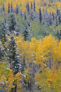 Colorado, Uncompahgre National Forest, Snowfall on Fall Colored Aspen and Spruce by John Barger