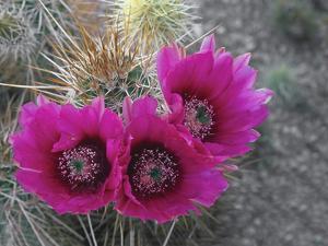 Hedgehog Cactus in Bloom, Saguaro National Park, Arizona, Usa by John Barger