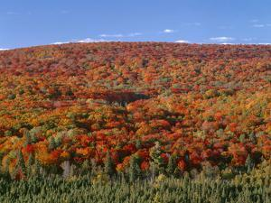 Minnesota, Superior National Forest, Northern Hardwood Forest Displays Fall Colors Above Conifers by John Barger