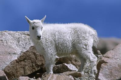 Mountain Goat Kid on Rocks, Mount Evans Recreation Area, Arapaho National Forest, Colorado, Usa