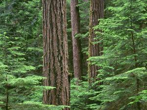 OR, Willamette NF. Middle Santiam Wilderness, Douglas fir giants rise above western hemlock by John Barger