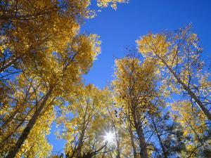 USA, Arizona, Grand Canyon National Park, Sun Bursts Through Autumn Colored Grove of Quaking Aspen by John Barger