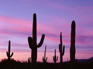 USA, Arizona, Organ Pipe Cactus National Monument by John Barger