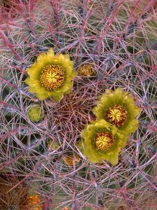 USA, California, Anza Borrego Desert State Park, Barrel Cactus in Spring Bloom at Glorieta Canyon by John Barger