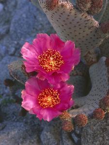 USA, California, Anza Borrego Desert State Park, Beavertail Cactus in Spring Bloom by John Barger