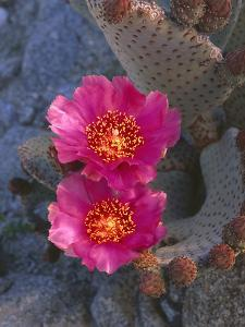 USA, California, Anza Borrego Desert State Park, Beavertail Cactus in Spring Bloom by John Barger