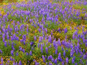 USA, California, Carrizo Plain National Monument, Dense Spring Bloom of Douglas Lupine by John Barger