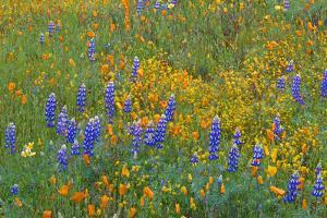 USA, California, Coast Range Mountains, Lush Spring Bloom of California Poppy by John Barger