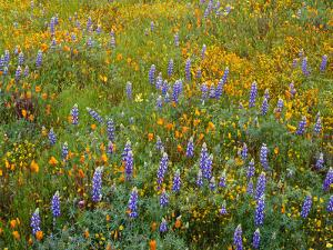 USA, California, Coast Range Mountains, Lush Spring Bloom of Douglas Lupine by John Barger