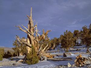USA, California, Inyo National Forest, Ancient Bristlecone Pine Forest Area by John Barger
