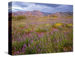 USA, California, Joshua Tree National Park, Spring Bloom of Arizona Lupine by John Barger