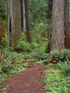 USA, California, Prairie Creek Redwoods State Park, Trail Leads Through Redwood Forest in Spring by John Barger