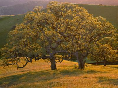 USA, California, South Coast Range, Valley Oaks and Grasses Glow in Sunset Light by John Barger