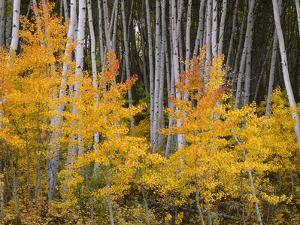 USA, Colorado, Grand Mesa National Forest, Aspen Grove with Fall Color and White Trunks by John Barger