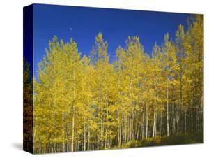 USA, Colorado, Gunnison National Forest. Autumn Colored Aspen Grove Beneath Moon and Blue Sky by John Barger