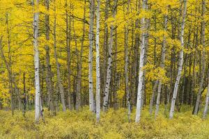 USA, Colorado, Gunnison National Forest, Fall Colored Aspen Grove in the West Elk Mountains by John Barger