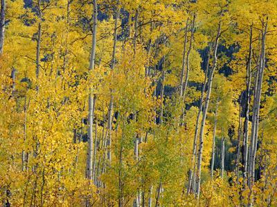 USA, Colorado, White River National Forest, Autumn Colored Grove of Quaking Aspen