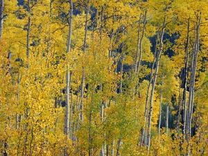 USA, Colorado, White River National Forest, Autumn Colored Grove of Quaking Aspen by John Barger