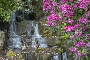 USA, Oregon, Portland, Mallard ducks, male and female pair with rhododendrons. by John Barger