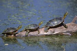 Western Painted Turtle, Two Sunning Themselves on a Log, National Bison Range, Montana, Usa by John Barger