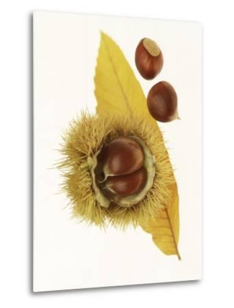 Spiky Seedcase of Castabea Fagaceae (Sweet Chestnut), with Chestnuts, on Orange Leaf