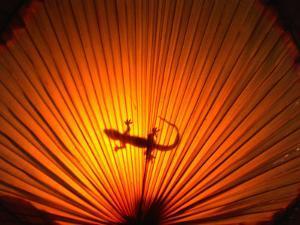 Gecko Walking Across Umbrella, Philippines by John Borthwick