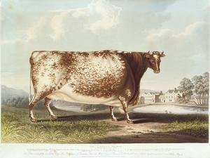 The Airedale Heifer, Engraved by R. Reeve, 1820 by John Bradley