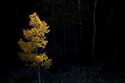 Aspen Tree at Sunset in Colorado by John Burcham