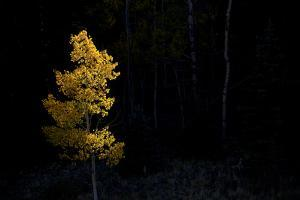 Aspen Tree at Sunset in Colorado by John Burcham