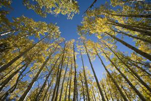 Aspen trees in fall color. by John Burcham