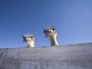 Two Ostrich Looking over a Fence, Arizona by John Burcham
