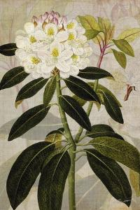 Rhododendron I by John Butler