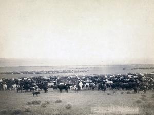 Cowboys herding cattle, c.1890 by John C. H. Grabill