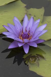 American Bullfrog (Lithobates Catesbeianus) Next to Water Lily Flower, Washington Dc, USA, July by John Cancalosi