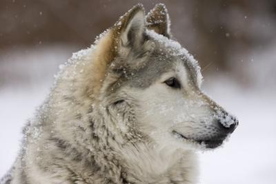Grey Wolf (Canis lupus) head portrait of male, lying in snow, Captive