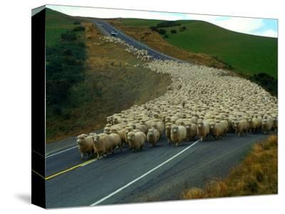 Flock of Sheep in Roadway