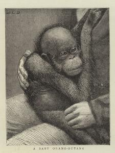 A Baby Orang-Outang by John Charles Dollman