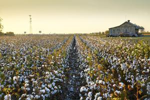 Clarksdale, Mississippi, Cotton Field, Delta by John Coletti